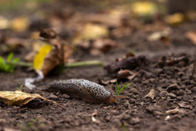 Limax Maximus - Leopard Slug Crawling On The Ground Among The Leaves And Leaves A Trail