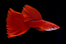 Red Male Guppy Fish Swimming Over Isolated Black Background