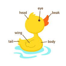 Illustration Of Duck Vocabulary Part Of Body.vector