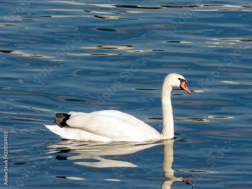 Swan in the Sava river, Belgrade.