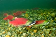 Sockeye Salmon Spawning In The Adams River