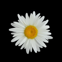 Realistic Daisy Flower Isolate...