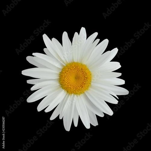 Canvastavla Realistic daisy flower isolated on dark background