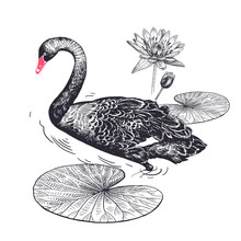 Realistic Hand Drawing Of Swan And Water Lily Isolated On White Background.