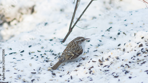Small bird Eurasian or Common Treecreeper, Certhia familiaris, close-up portrait on snow, selective focus, shallow DOF