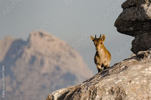 Spanish wild goat/mountain goat (Spanish ibex) in Torcal