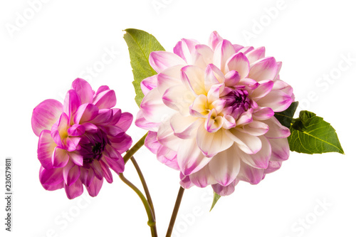 Aluminium Prints Dahlia Beautiful colorful arrangement dahlia flowers isolated on a white background