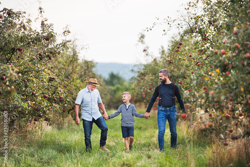 Leinwand Poster A small boy with father and grandfather walking in apple orchard in autumn