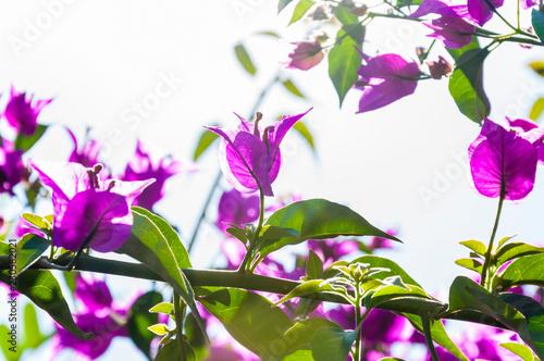 Aluminium Prints Flower shop Blooming magenta Bougainvillea bush