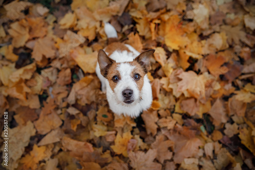 Funny dog in the autumn in the leaves. Cute pet. Active Jack Russell Terrier