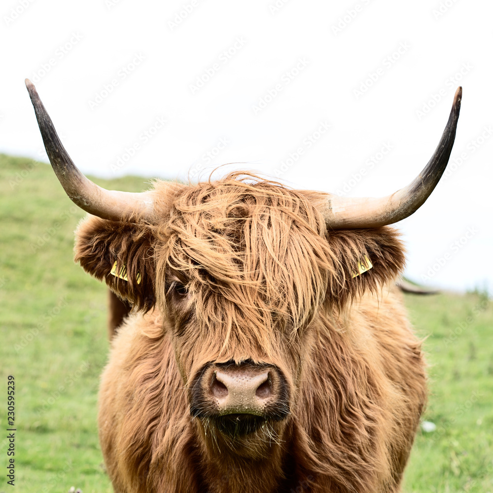 brown highland cow in square format