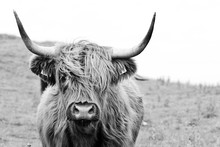 Brown Highland Cow In Black An...