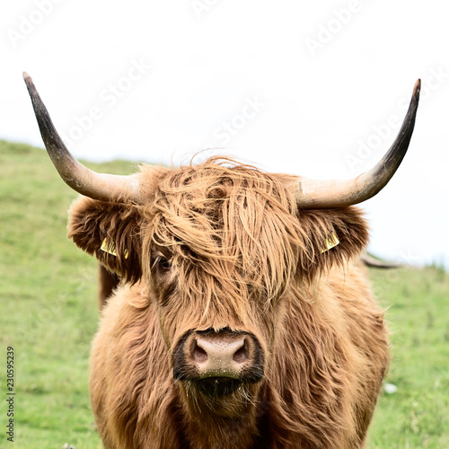Fototapety, obrazy: brown highland cow in square format