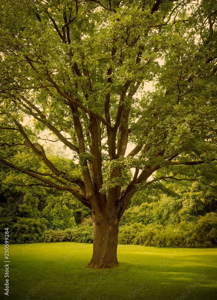 Big old oak tree as long term investment concept