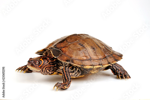 Falsche Landkarten-Höckerschildkröte (Graptemys pseudogeographica kohnii)  - False Map Turtle