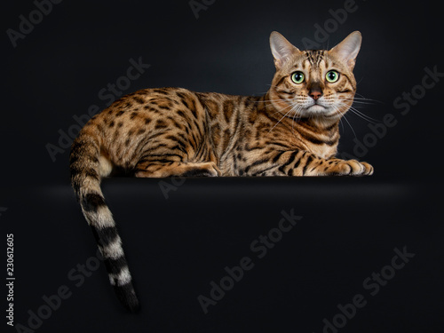 Handsome shiny young adult male Bengal cat, laying down with tail hanging over e Canvas-taulu