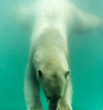 Polar Bear (Ursus Maritimus) Swimming Under Water. Polar Bears Are Excellent Swimmers And Often Will Swim For Days. They May Swim Underwater For Up To Three Minutes To Approach Seals On Shore.
