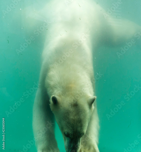 Tuinposter Ijsbeer Polar bear (Ursus maritimus) swimming under water. Polar bears are excellent swimmers and often will swim for days. They may swim underwater for up to three minutes to approach seals on shore.