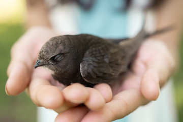 Human and the animal connection. The concept of trust and friendship. Bird in woman hands outdoors on nature. Black martin or Common Swift.