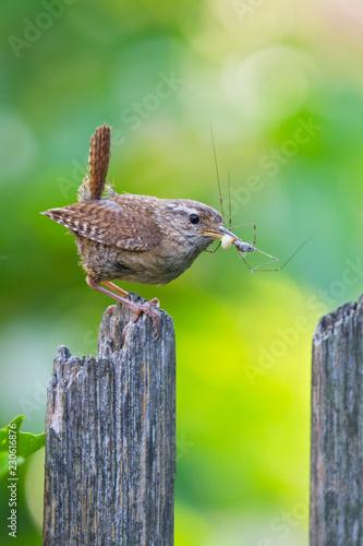 Zaunkönig (Troglodytes troglodytes) Altvogel mit Spinne im Schnabel sitzt auf Ga Fototapete
