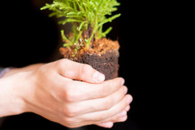 Hand Hold Young Little Pine Tree Sprout To Plant F
