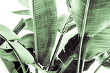 Liście bananowca - 230621433