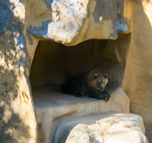 Brown Grizzly Bear Sitting In ...