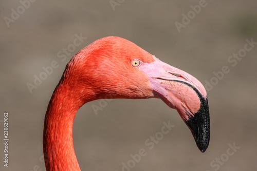 Flamingo Portrait von der Seite