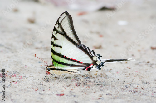 Rare and colorful butterfly in South America
