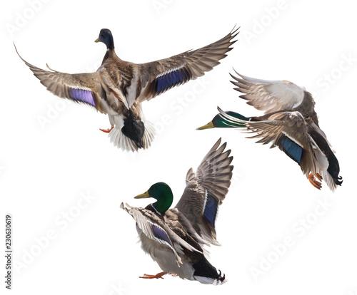 three mallard duck drakes on white Wall mural
