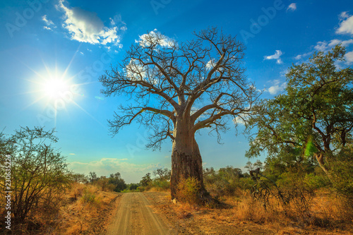 Fotografie, Obraz Baobab tree in Musina Nature Reserve, one of the largest collections of baobabs in South Africa