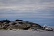 Brown laminaria on White sea bay, Russia