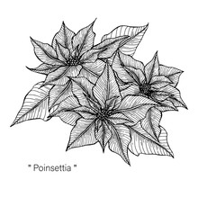 Poinsettia Drawing Illustration By Hand Drawn Line Art.