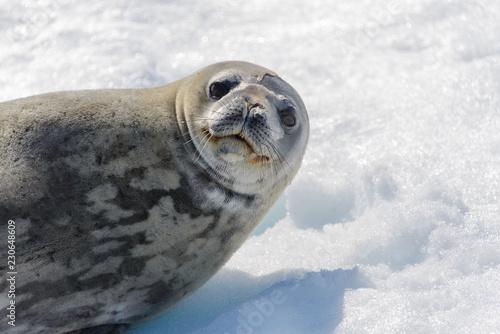Foto auf Gartenposter Antarktika Leopard seal on beach with snow in Antarctica