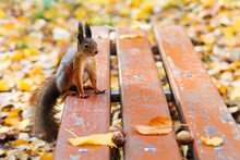 Red Squirrel Sitting On An Old...