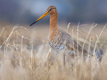 Black-tailed Godwit Posing In Dry Yellow Grass In Early Spring Field Near A Pond