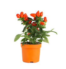 Potted Chili Pepper Plant On White Background