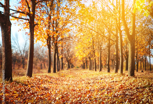 fototapeta na drzwi i meble Beautiful autumn landscape with trees and dry leaves on ground