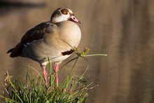 Egyptian Goose Sitting On Gras...