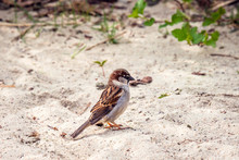 Sparrow In The Sand Looking Fo...