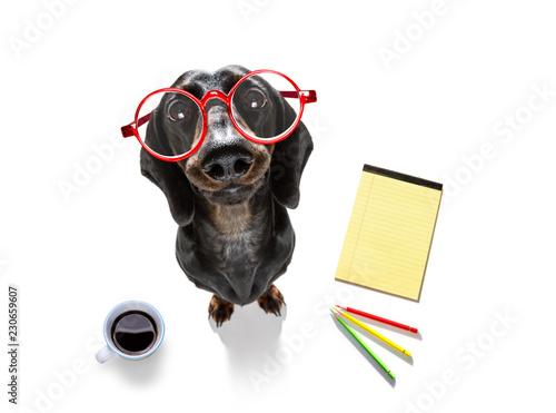 Foto op Canvas Crazy dog office worker businessman sausage dachshund dog