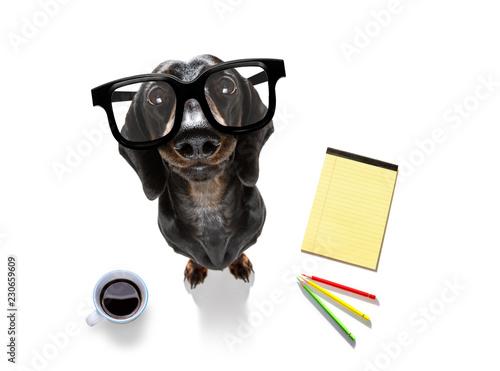 Fotobehang Crazy dog office worker businessman sausage dachshund dog