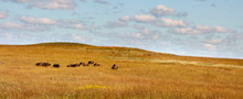 Rolling Hills, Warm Grasses And A Heard Of Bison At The Kansas Tallgrass Prairie Preserve