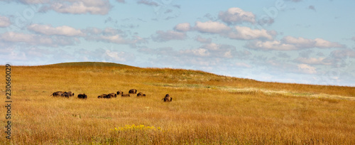 Canvastavla Rolling hills, warm grasses and a heard of Bison at the Kansas Tallgrass Prairie