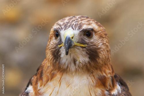 Aguila ratonera  Cola Roja ( Buteo Jamaicensis ) con restos de comida pegados a la pluma