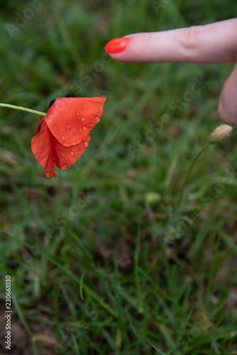 Fotobehang Poppy POPPY FLOWER