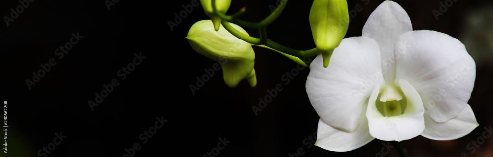 Fototapety, obrazy: banner Size nature,orchid background