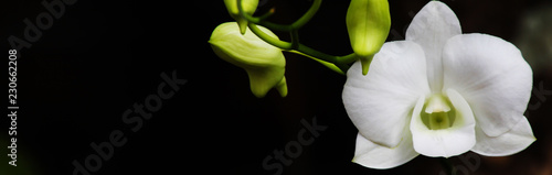Orchidée banner Size nature,orchid background