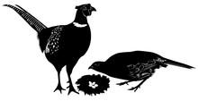 Pheasant Bird Isolated On White Background