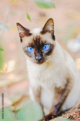Fotografía  Domestic Siamese Cat.